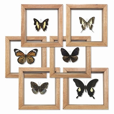 Butterfly Double Glass Framed