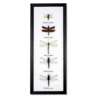 Dragonfly Specimens Cotton Frame