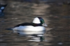 Bufflehead Duck Pair