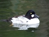 Common American goldeneye duck