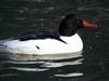 Common Merganser Duck