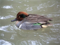Green Wing Teal Duck