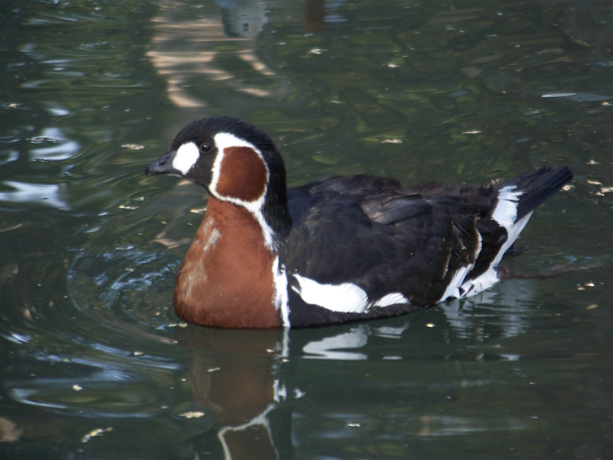 Red Breasted Geese For Sale
