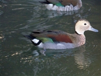 Ring Teal Duck Pair