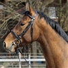 Barefoot Devon English Bridles
