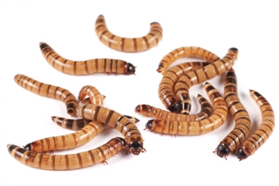 100 Count Large Superworms