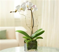Imperial White Orchid