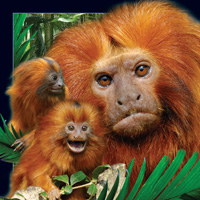 Worth Keeping Lion Tamarin 4D Card