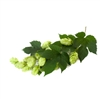 Late Cluster Hop Plant in 2 Litre Pot