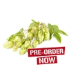 Liberty Hop Plant in 2 Litre Pot (Pre-Order)