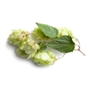 Mount Hood Hop Plant in 2 Litre Pot