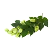 Notts Eastwell Bare Root Hop Plant