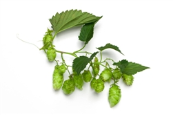 Styrian Golding Bare Root Hop Plant
