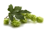 Tradition Bare Root Hop Plant