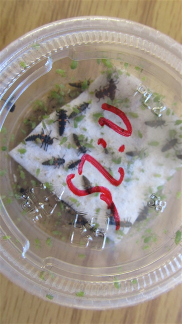 C. novemnotata larvae - packet of 50