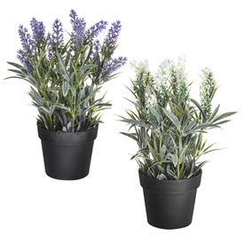 Potted Lavender 2 Assorted 28cm