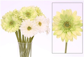Gerbera Single Stem 47cm