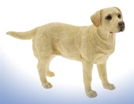 Golden Labrador