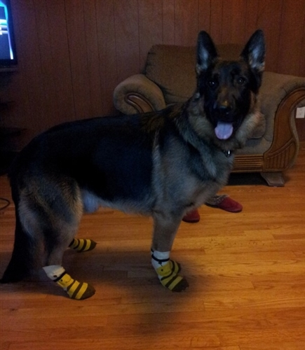 Big Breed Dog Socks In Yellow With A Cute Bee Design