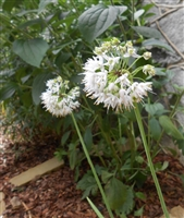 Nodding Wild Onion
