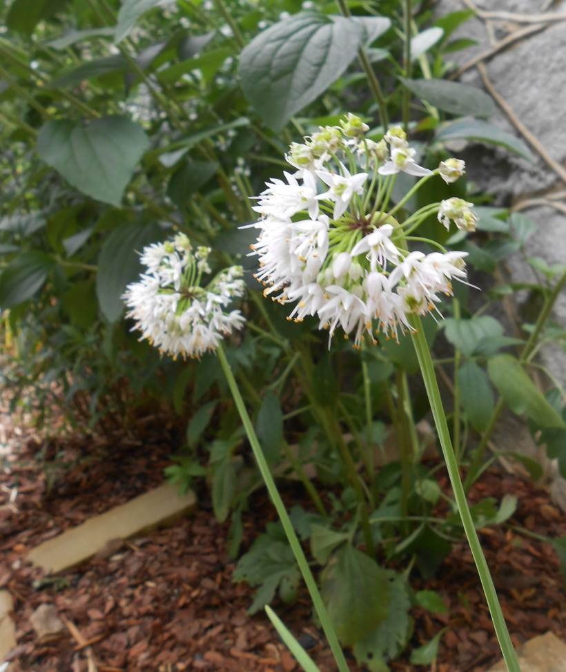 Image result for wild onion