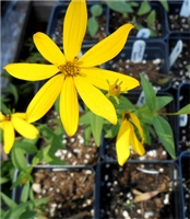 Greater Coreopsis