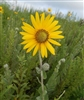 Downy Sunflower