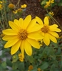 Few-leaved Sunflower