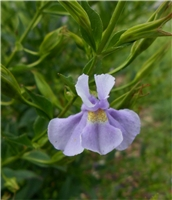 Allegheny Monkey Flower