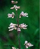 Pale Beardtongue
