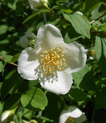 Appalachian Mock Orange