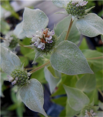 Clustered Mountain Mint