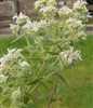 American Mountain Mint