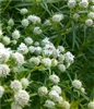 Slender Mountain Mint