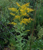 Licorice Goldenrod