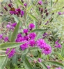 Missouri Ironweed