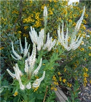 Culver's Root