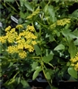Heart-leaved Golden Alexanders