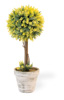 Yellow Ball Topiary in White Pot