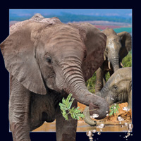 4D Video Card Elephant