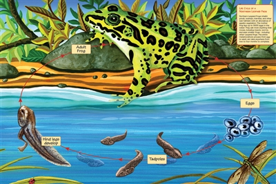 48pc Life Cycle of a Northern Leopard Frog jigsaw puzzle | Cobble Hill Puzzle Company