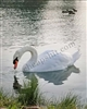 White Swan enjoying reflection