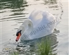 White Swan happy