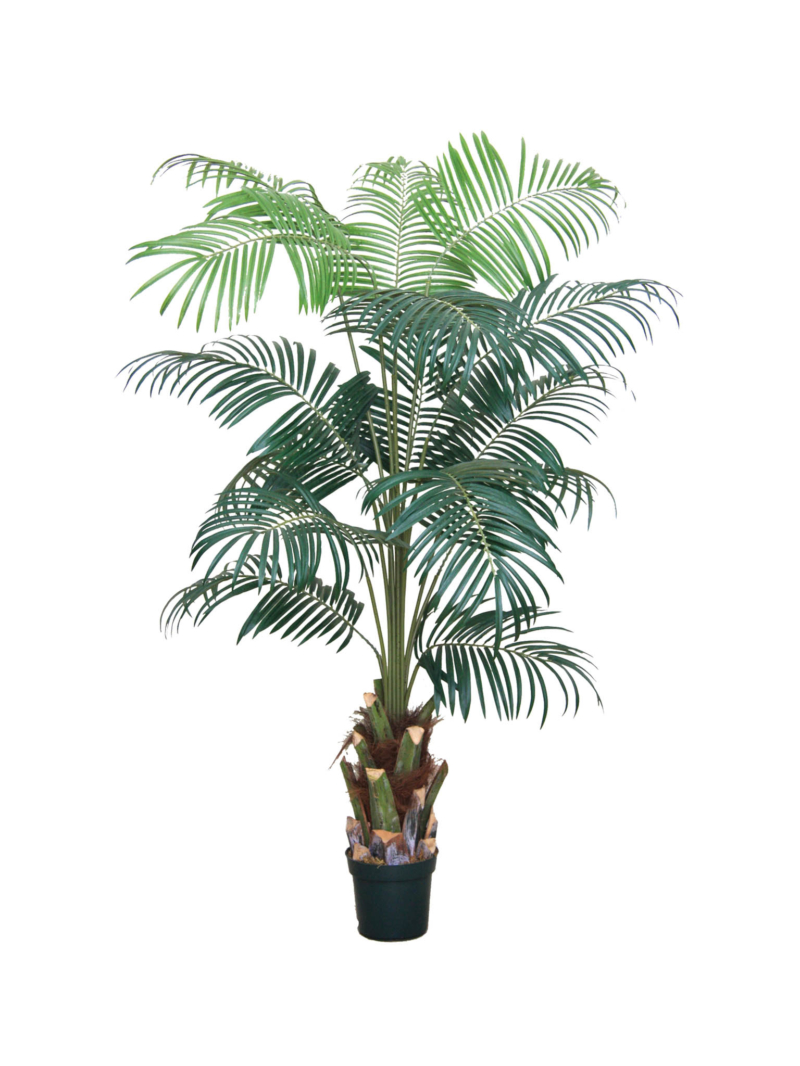 7' WINE PALM X15 W/POT PLASTIC POT - GREEN