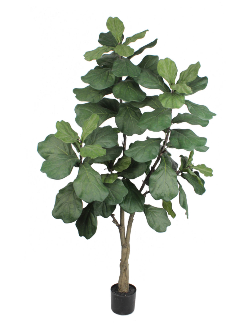 6'FIDDLE TREE W/65LVS/POT