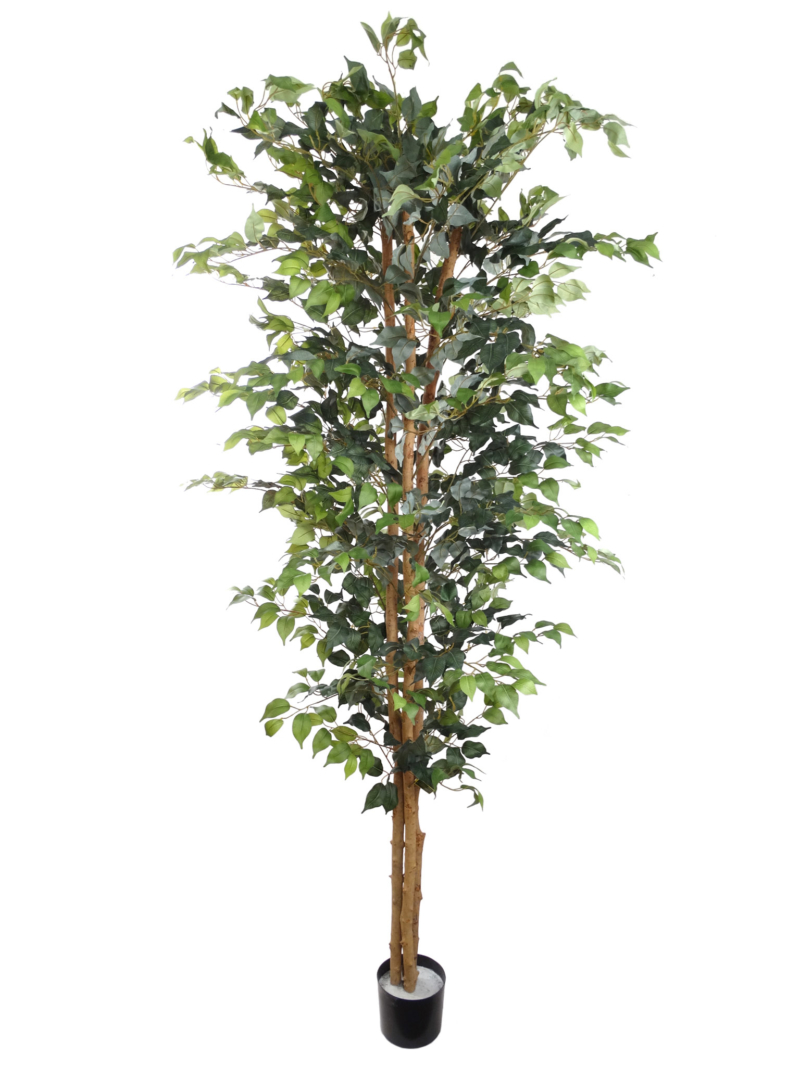7' FICUS TREE X3/2016LVS - GREEN