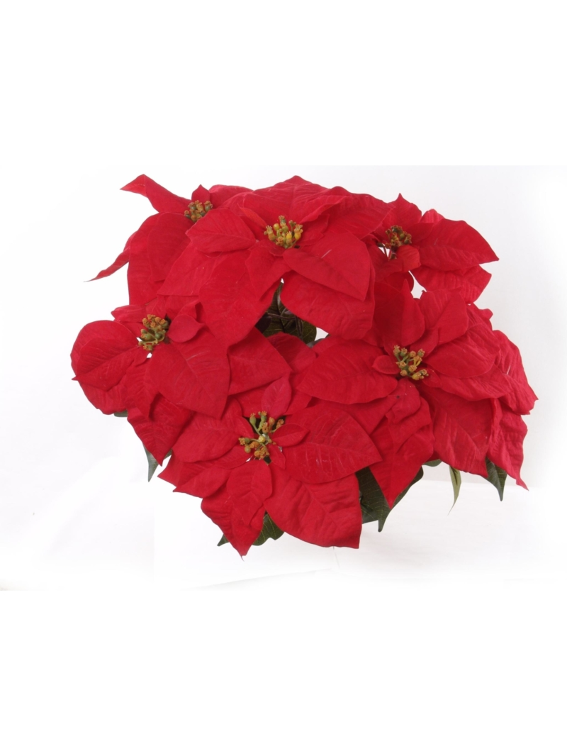 "20"" VELVET POINS BUSH X7 - RED"