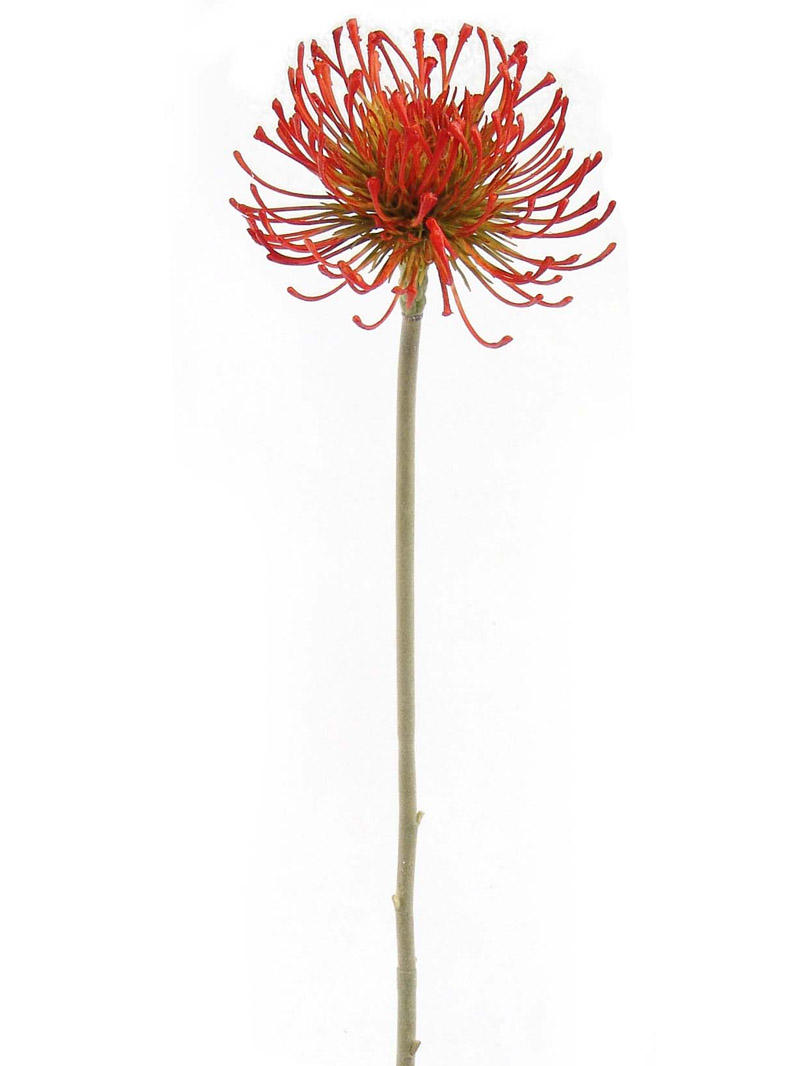 "26"" PROTEA PINCUSHION - ORANGE"