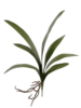 "20"" CYMBIDIUM LEAF CLU X7 - GREEN"