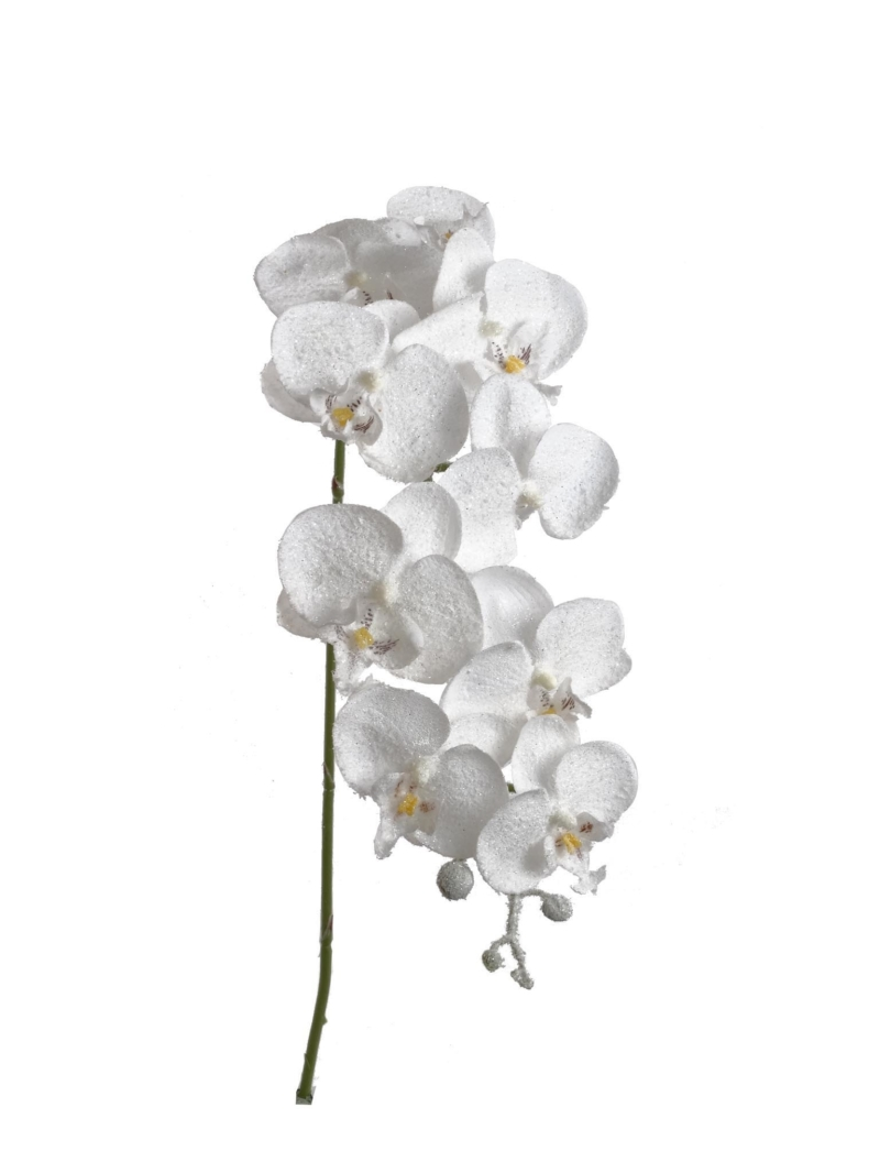 "34""PHALAENOPSIS SNOW SPRY   - WHITE"